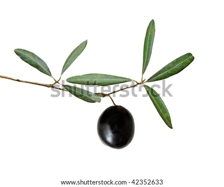 olive branch with fruit