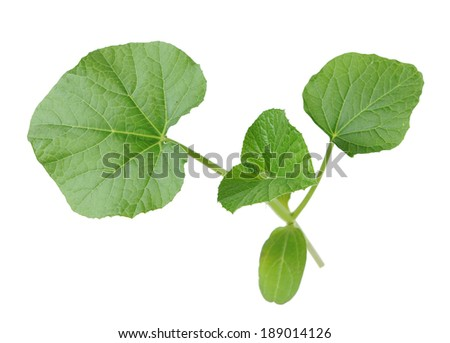opo squash leaves isolated on white background (Cucurbitaceae family)