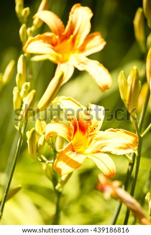 orange flower,spring flowers,garden flowers,flowers spring,orange lily garden,lily on green ,plant,long petals,lily petals,orange petals,yellow petals,wonderful lily,wonderful flowers,amazing nature - stock photo