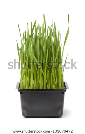 Organic wheat grass in plastic container on white background
