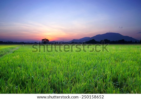 paddy field during the sunrise                               - stock photo