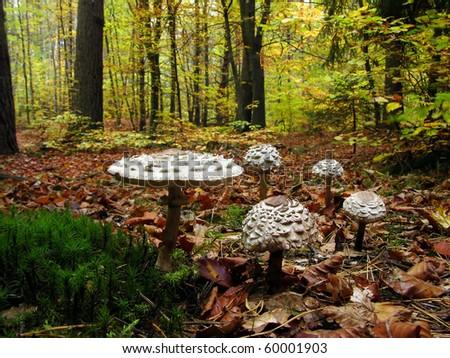 Parasol mushrooms ( Macrolepiota procera  )  in the forest - stock photo