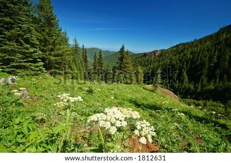 Parsnip in a mountain meadow in Olympic National Park - stock photo