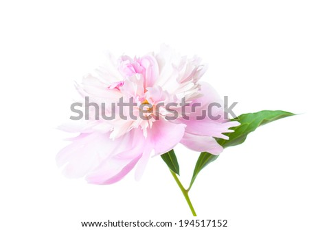 peonies,  pink flowers on white background, beautiful closeup  flower, nice image for wallpaper, greeting cards