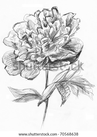 Peony flower sketch. Image I have created myself with pencil.