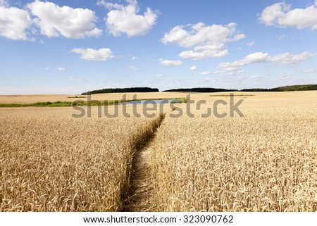 people trampled path passing through an agricultural field with rye - stock photo
