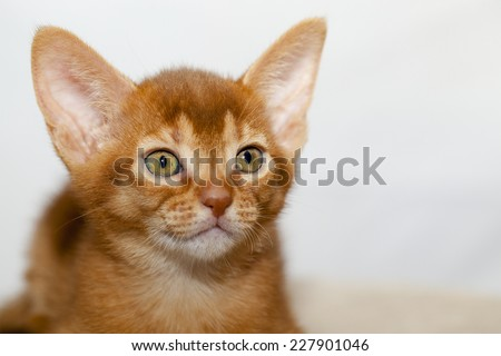photographed by a close up a little Abyssinian kitten - stock photo