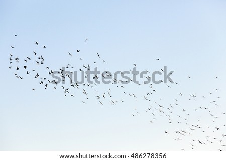 photographed close-up blue sky, in which a flock of birds flying, visible silhouettes