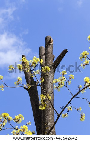 photographed close-up of maple flowers, green, spring times during the year, blue sky - stock photo