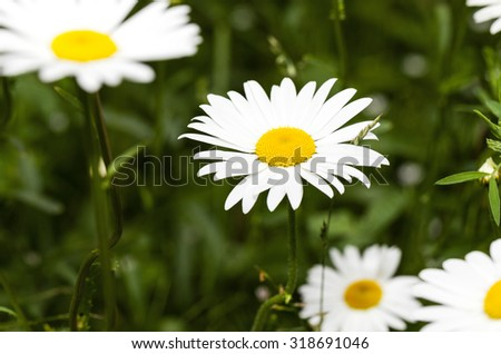 photographed close-up of white daisy (camomile) flowers. - stock photo