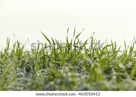 photographed close up young grass plants green wheat growing on agricultural field, morning dew on leaves,