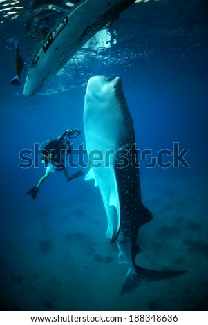 Photographer get close with Whale Shark                  - stock photo