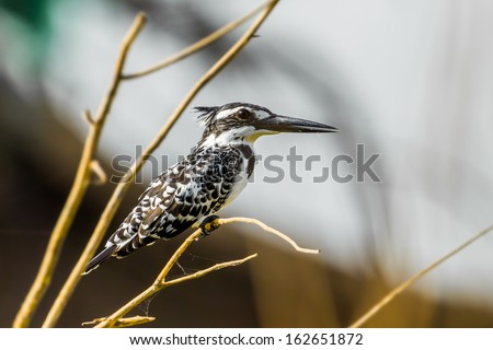 Pied Kingfisher (Ceryle rudis) stair at us in nature - stock photo