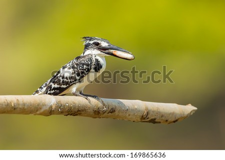 Pied Kingfisher (Ceryle rudis) with fish in her mount - stock photo