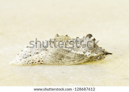 Pieris brassicae /  Cabbage butterfly pupa - stock photo