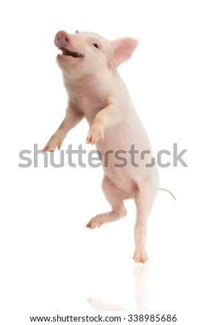 pig going on hinder legs - stock photo