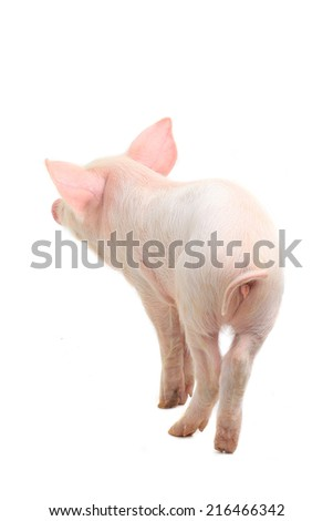 pig on a white background. studio