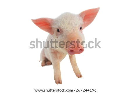 pig  on a white background. studio - stock photo