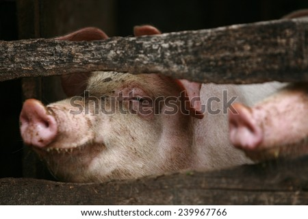 2 pigs in the pen - stock photo