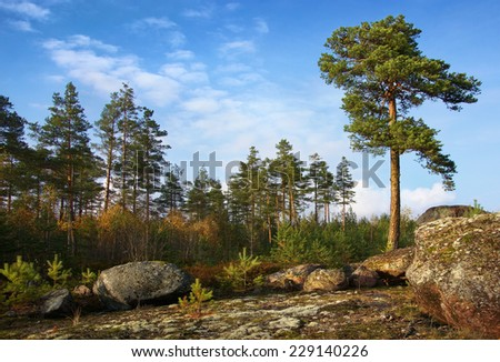 pine trees on rock, individual and collective                             - stock photo