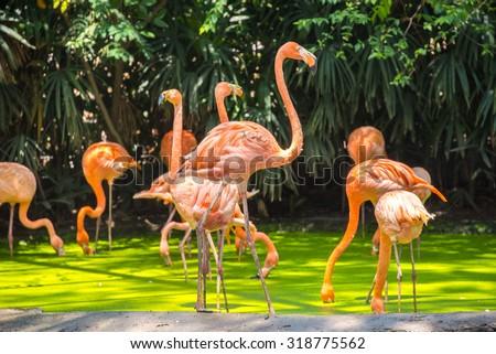 pink flamingos photographed in Safari World Park of Bangkok - stock photo