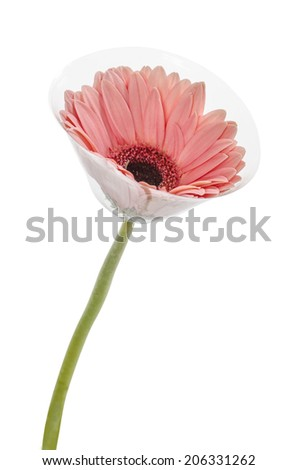 Pink Gerbera in flower protect, on white : Clipping path included - stock photo