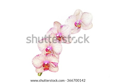 Pink orchid flower (phalaenopsis) isolated on white background thailand  love valentine       - stock photo