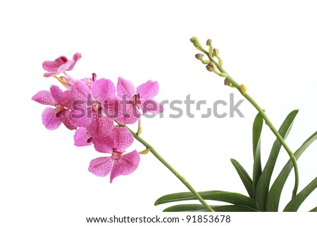 Pink orchid ( pink vanda ) isolated on white
