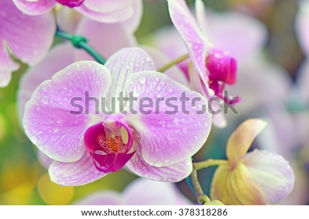 Pink Phalaenopsis orchids hybrid close up at Royal Rajchapuak Park,Chiangmai Thailand Thai orchids. - stock photo