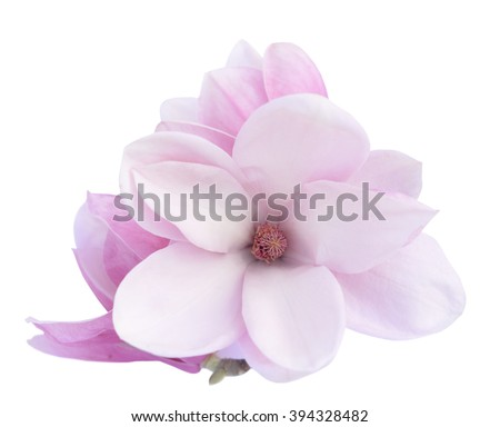 pink Susan magnolia flower isolated on white background  - stock photo