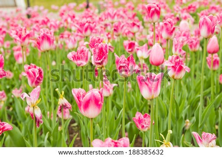 pink tulips field in spring time