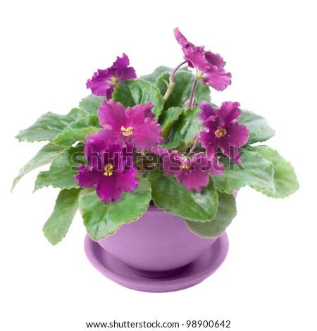 ¡Los Houseplants púrpuras están trayendo la parte posterior atractiva!