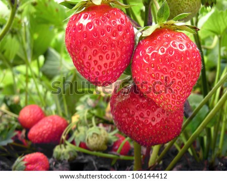 plantation of the strawberry in the  garden - stock photo