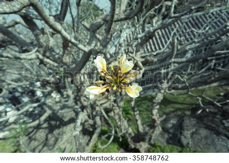 Plumeria flower and tree branches in the background ,vintage - stock photo