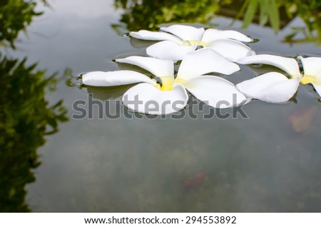 Plumeria Flower on Stones at Edge of Pool in Tranquil Spa  - stock photo