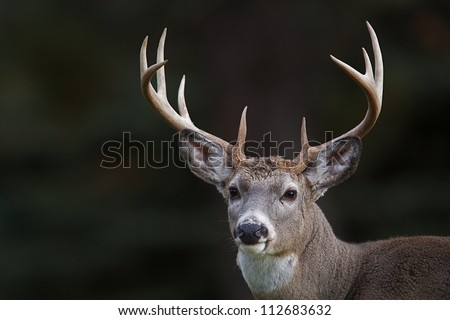 10 point buck; Whitetail Deer portrait isolated on a dark natural background; white tail / white-tail / whitetailed / white tailed / white-tailed - stock photo