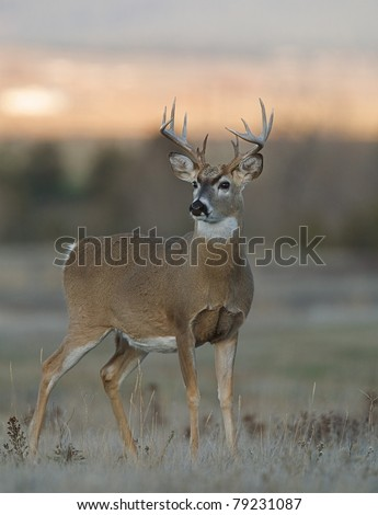 12 point trophy Whitetail buck deer standing alert in grassland habitat - stock photo