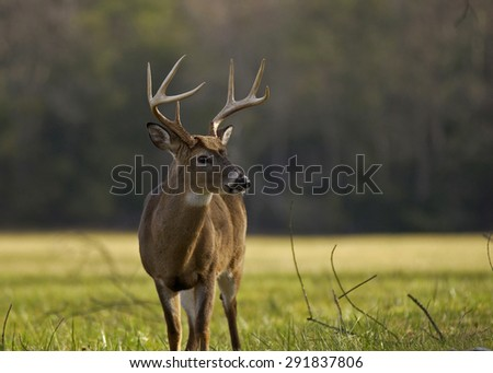 8 Point Whitetail Buck Great Smoky Mountains National Park - stock photo