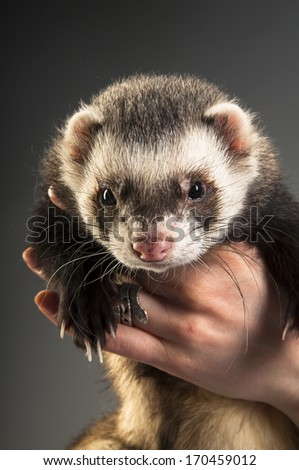 Polecat on gray background - stock photo