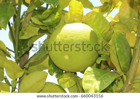 """Pomelo"" fruit (or Pomello, Pummelo, Pommelo, Pamplemousse, Jabong) on the tree in Crete Island, Greece. Its Latin name is Citrus Maxima, native to southeastern Asia."