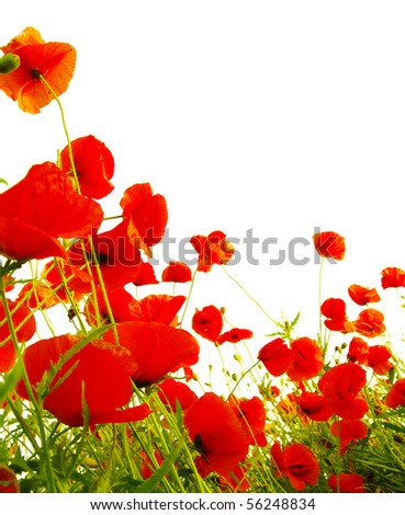 poppies isolated on white - stock photo