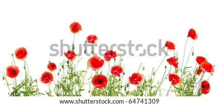 poppies on white - stock photo