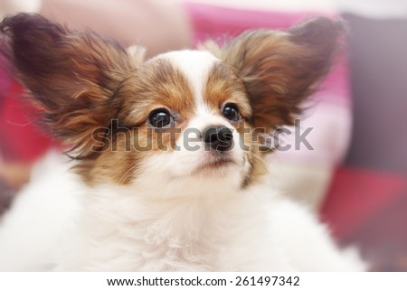 Portrait Little puppy dog breed papillon, close-up - stock photo