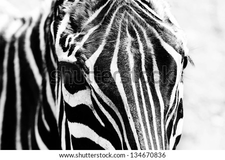 Portrait of a zebra - stock photo
