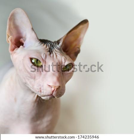 portrait of funny sphinx cat closeup - stock photo