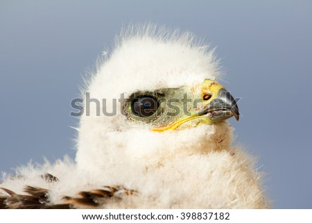 portrait Rough-legged Buzzard chick, close-up shot. Novaya Zemlya Archipelago - stock photo