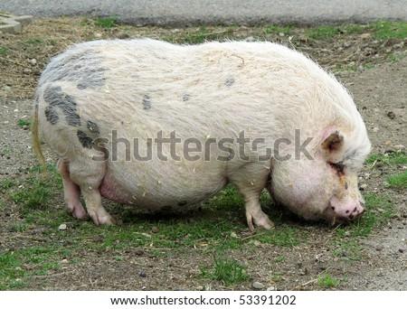 pot belly pig - stock photo
