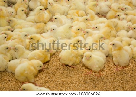 Poultry farm.Chicken broilers - stock photo