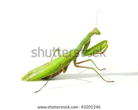 (praying) mantis - stock photo