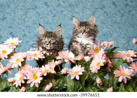 2 Pretty Maine Coon kittens behind fence trellis of pink daisies flowers